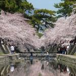 夙川の桜おすすめのスポットと駐車場のアクセス方法を公開!子連れで花見しよう!