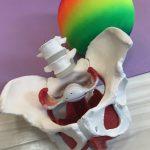 『骨盤と骨盤底筋の重要性』